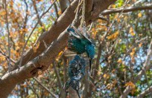 Burung dilindungi ditemukan mati dengan cara terikat