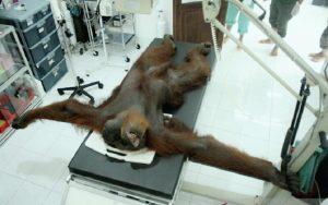 Orangutan di Medan banyak luka peluru sejumlah 24 buah