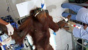 2 orang utan dengan luka tembak di Aceh